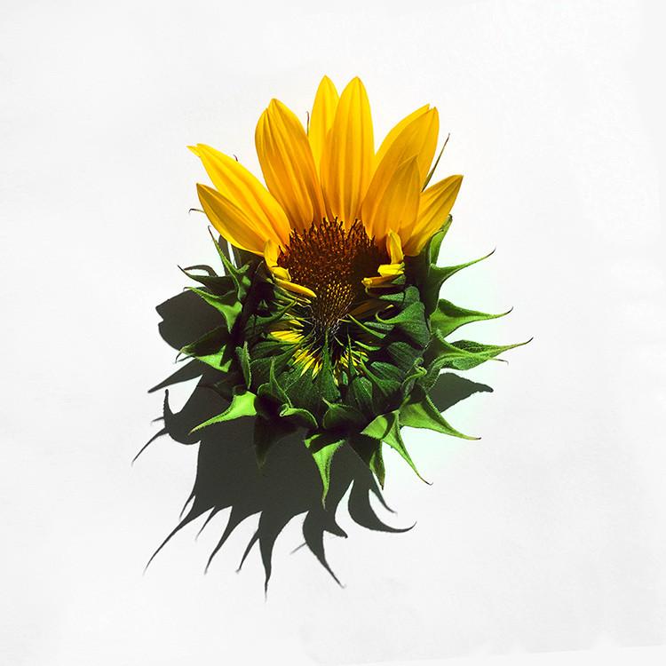 JF Sunflower 03