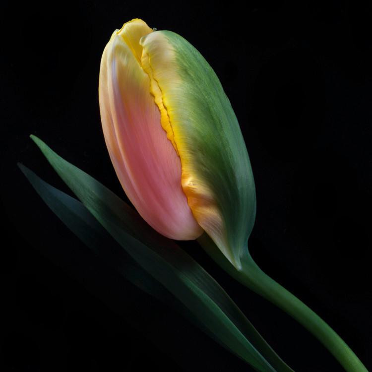 JF Tulip 74