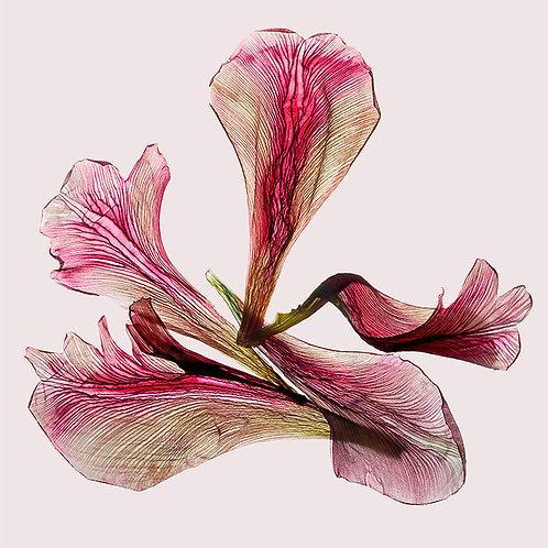 JF Tulip 65