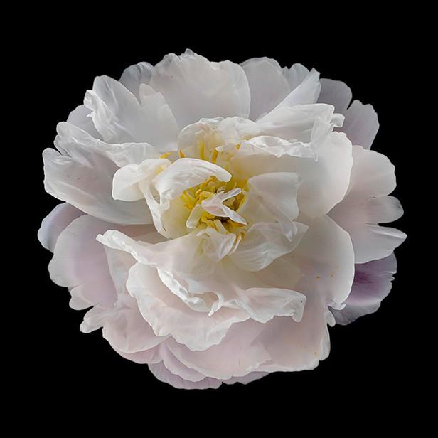 JF Rose 01