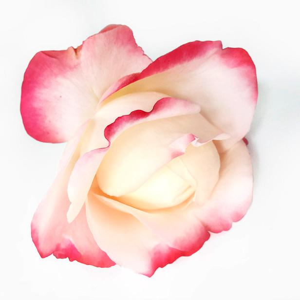 JF Rose 45