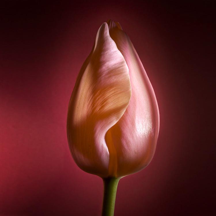 JF FlowerART Tulip 19