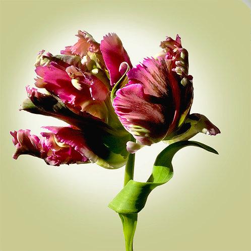 JF Tulip 38