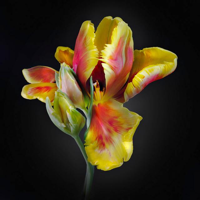 JF Tulip 14