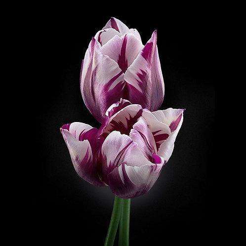 JF Tulip 22
