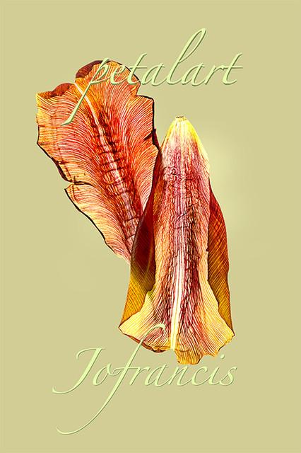 JF Tulip PA 02