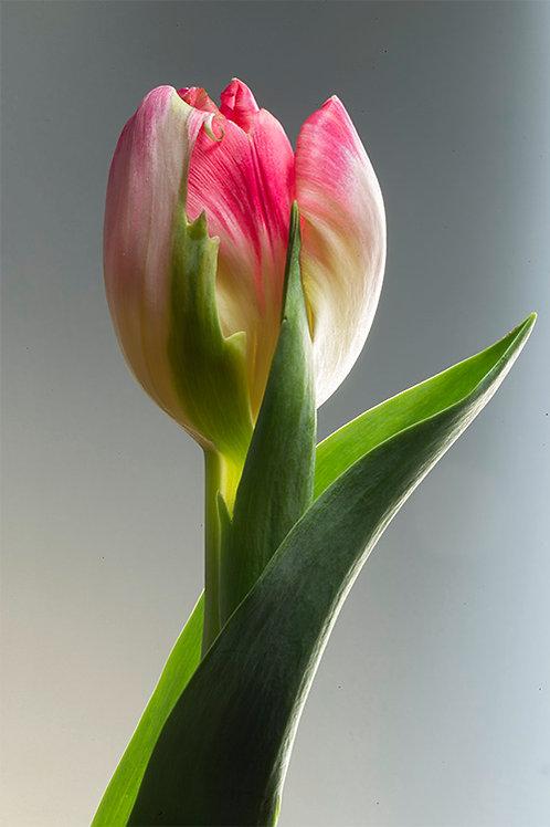 JF Tulip 30