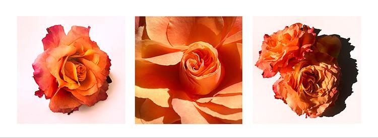 27 JF Rose Augusta Louise