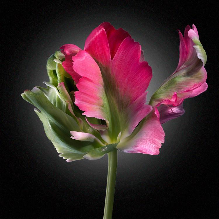 JF FlowerART Tulip 28