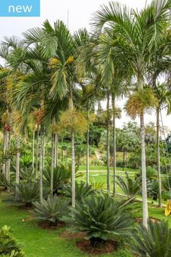 Palmeira carpetenaria