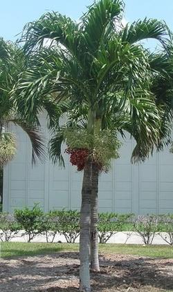 Palmeira-Veitchia