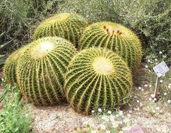 Cactus bola