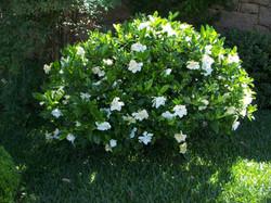 Jasmim gardenia