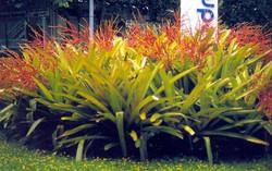 Bromelia bahia