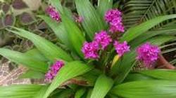 Orquidea Grapette