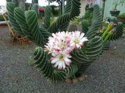 Cactus parafuso