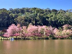 Cerejeiras Japonesas