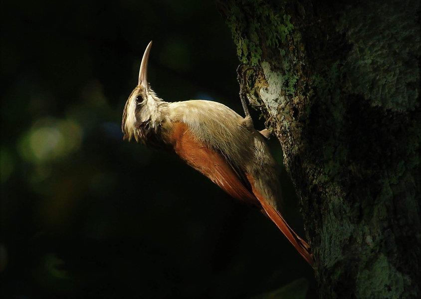 birdwatching_arapaçu-do-cerrado_Lepidoco