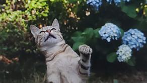 紫陽花と猫