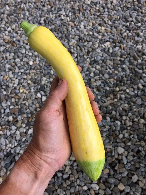 Yellow Squash var. Zephyr