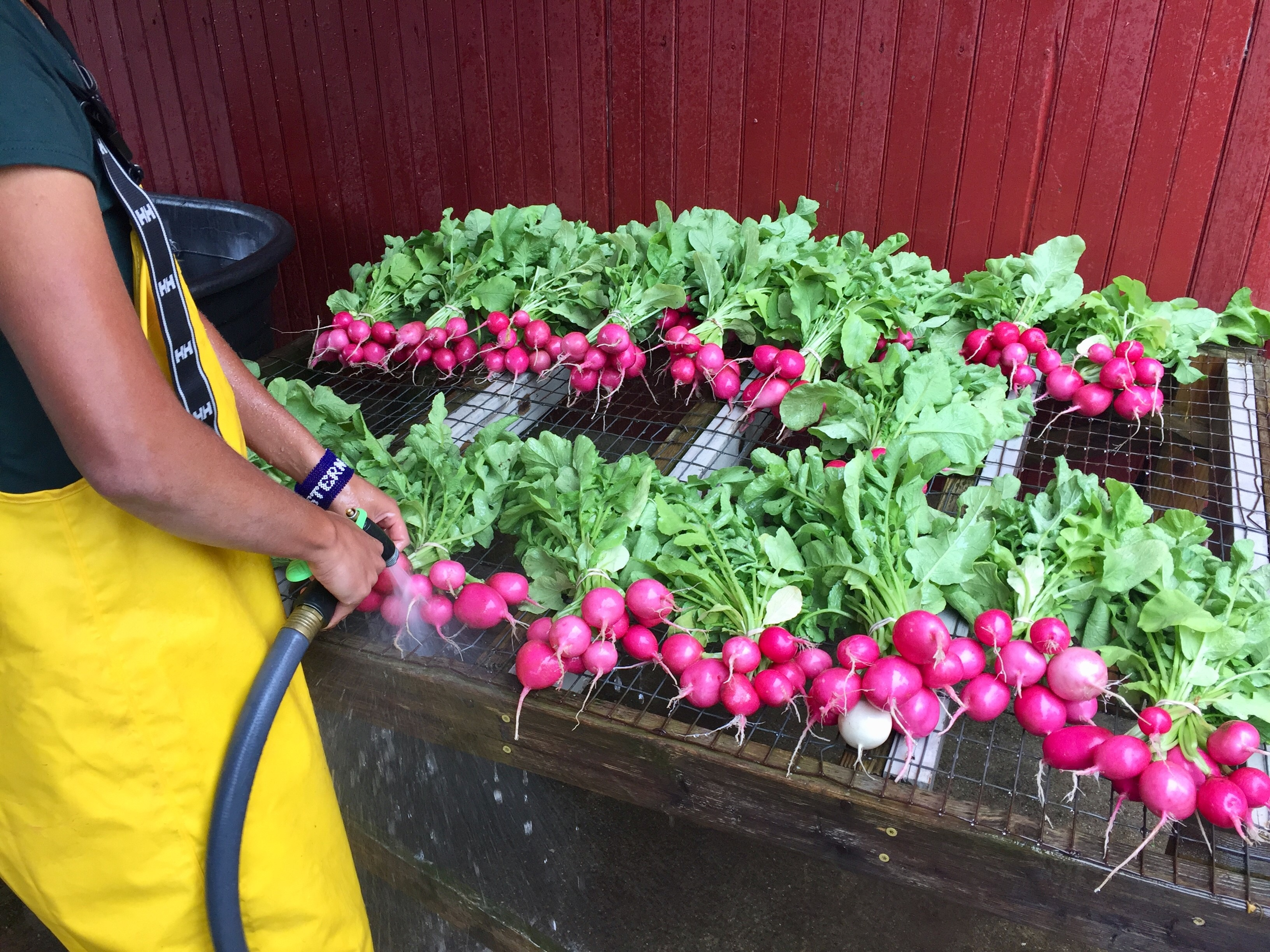 sprayingradish