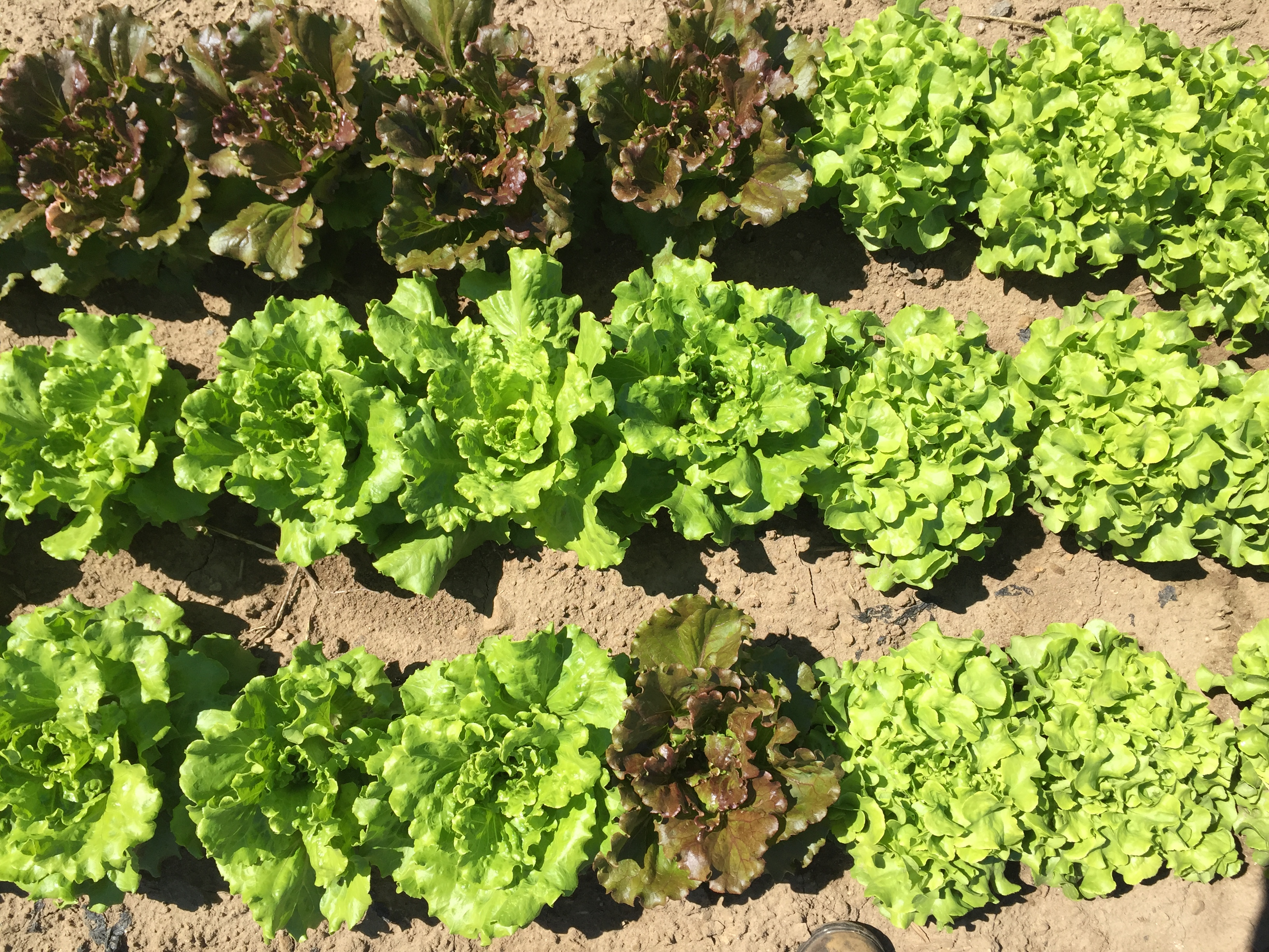 varieties of lettuce