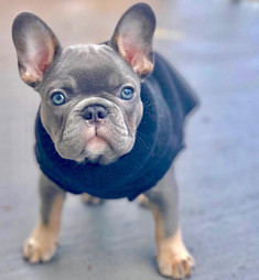 Blue Buddha French Bull Dog Puppy Breeder blue and tan puppy wearing a sweater