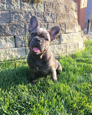 Blue Buddha French Bull Dog Puppy Breeder blue puppy with tongue out