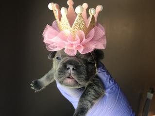 Blue Buddha French Bull Dog Puppy Breeder blue puppy wearing a princess crown