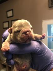 Blue Buddha French Bull Dog Puppy Breeder sleeping newborn