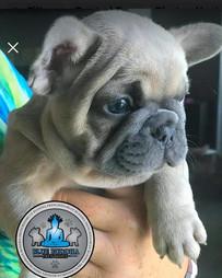 Blue Buddha French Bull Dog Puppy Breeder blue fawn puppy