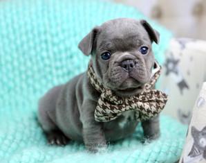 Blue Buddha French Bull Dog Puppy Breeder blue puppy wearing a bowtie