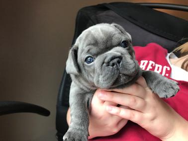 Blue Buddha French Bull Dog Puppy Breeder blue puppy
