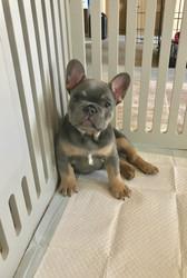 Blue Buddha French Bull Dog Puppy Breeder blue and tan puppy sitting