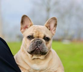 Blue Buddha French Bull Dog Puppy Breeder tan puppy