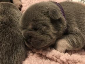 Blue Buddha French Bull Dog Puppy Breeder blue and tan puppy