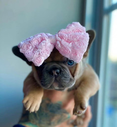 Blue Buddha French Bull Dog Puppy Breeder blue sable puppy with a bow