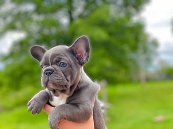 Blue Buddha French Bull Dog Puppy Breeder blue and white puppy