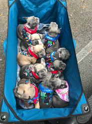 Blue Buddha French Bull Dog Puppy Breeder wagon of blue and tan puppies