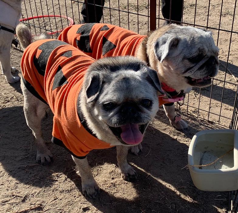 Tiny Paws Pug Rescue (Central California)