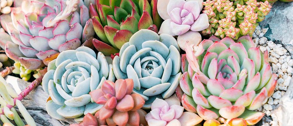 Succulent (1).png