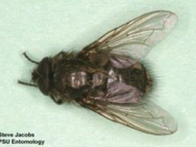 Cluster flies:  How to Fix Them Once and for All ?