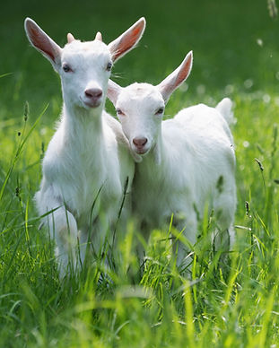 Two baby goat kids stand in long summer grass..jpg