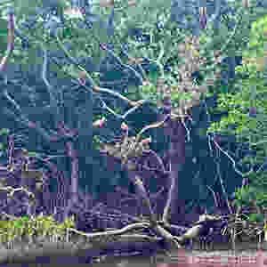 roseate spoonbills, anclote key, sailing charters, boat charters, sailing Kuma too, Kuma too, birds, bird watching Florida