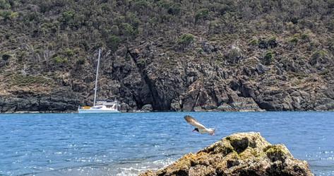 American Oyster Catcher in Flight
