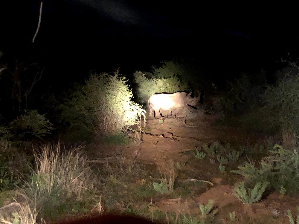 Rinoceronte avistado no safári a noite