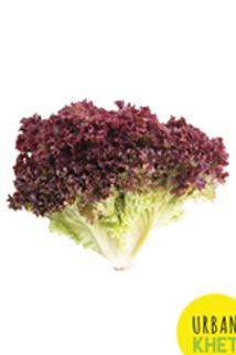 Lollo Rosso (Red Leaf) Lettuce