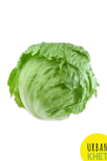 Iceberge Lettuce