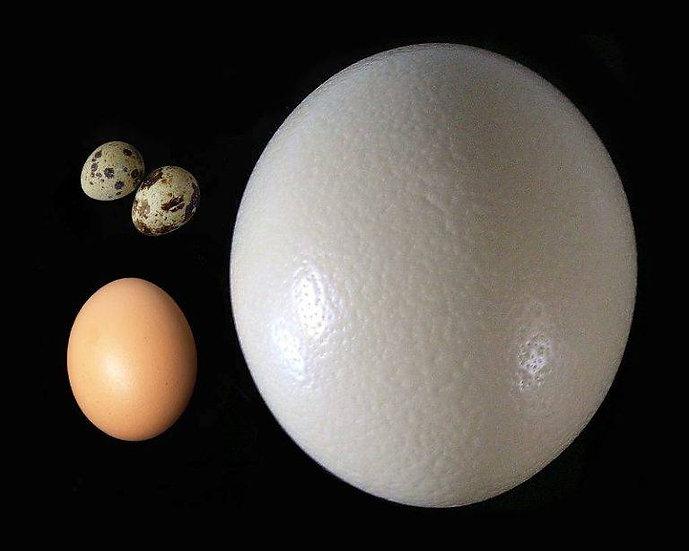 Яйцо пищевое страусиное,куриное,перепелиное