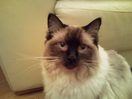 Meet Coco - My Counselling Cat!